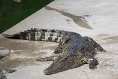 Krokodil saltvattens- Thailand Arkivbild