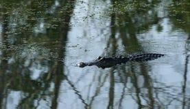 Krokodil-Schwimmen im Teich Lizenzfreie Stockfotos