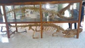 Krokodil Skeltons Royalty-vrije Stock Foto