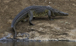 Krokodil - Skukuza - KNP Lizenzfreie Stockfotos