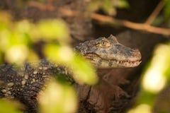 Krokodil som beskådas till och med träd Royaltyfri Fotografi