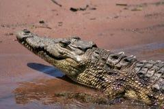 krokodil som bygga bo nile Arkivbild