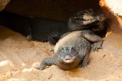 Krokodil som får ut ur en grotta royaltyfria foton