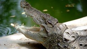 Krokodil som finnas i den baroda zoo arkivfoto
