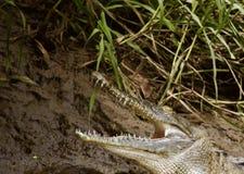 Krokodil som kopplar av längs en flod som tar tid att gäspa royaltyfria bilder