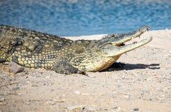Krokodil som ligger på den steniga kusten Arkivfoton