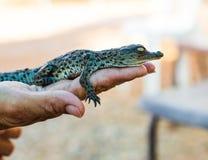 Krokodil som ligger på handen Arkivfoton
