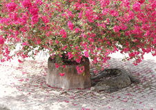 Krokodil som sover under träd för pappers- blomma Royaltyfri Bild