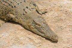 Krokodil som sunbaking Royaltyfri Fotografi