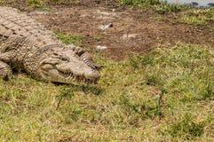 Krokodil som tar en ta sig en tupplur nära en waterhole i Nairobi Arkivbilder