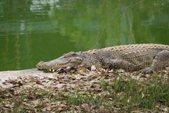 Krokodil som värma sig i solen nära floden Royaltyfri Fotografi