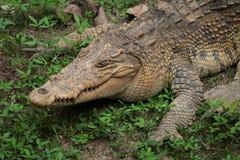 Krokodil som vilar på gräset i djungeln Arkivfoton