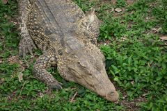 Krokodil som vilar på gräset i djungeln Arkivbilder