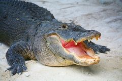 Krokodil-Sumpfgebiet-Miami Florida Stockfotografie