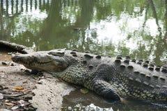 Krokodil, Tabascosaus, Villahermosa, Mexico, Archeologie, Toerisme Royalty-vrije Stock Afbeeldingen