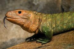 Krokodil Teju royalty-vrije stock afbeelding