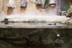 Krokodil in terrarium Stock Foto's