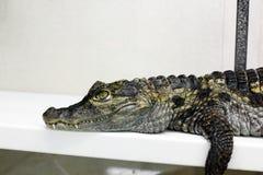 Krokodil in terrarium royalty-vrije stock fotografie