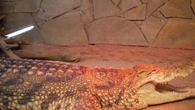 Krokodil in terrarium cayman Alligator stock footage