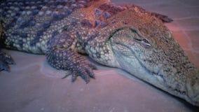 Krokodil in terrarium cayman Alligator stock videobeelden