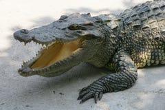 krokodil thailand Royaltyfri Fotografi
