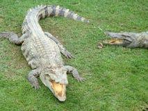 Krokodil in Thailand Royalty-vrije Stock Afbeelding