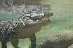 Krokodil under vatten Arkivfoto