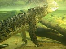 krokodil under vatten Arkivfoton