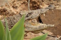 Krokodil van achter bladeren Stock Foto's
