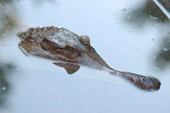 Krokodil in vijver Royalty-vrije Stock Fotografie