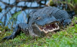 Krokodil am Wasserrand Stockbilder