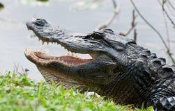 Krokodil am Wasserrand Lizenzfreie Stockfotos