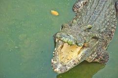 Krokodil, welches das Opfer wartet Lizenzfreies Stockbild
