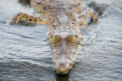 Krokodil, welches die Kamera betrachtet Lizenzfreie Stockbilder
