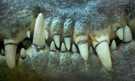 Krokodil-Zähne Lizenzfreie Stockbilder
