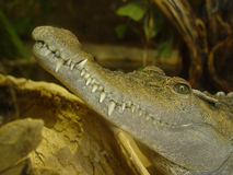 Krokodil-Zähne Lizenzfreies Stockfoto