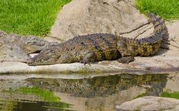 Krokodil zonnebadende im de zon royalty-vrije stock foto