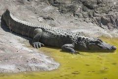 Krokodil am Zoo Lizenzfreie Stockfotos