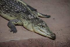 Krokodilalligator och kajman Arkivfoto