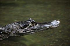 Krokodilalligator och kajman Royaltyfri Fotografi