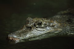 Krokodilalligator och kajman Royaltyfri Foto