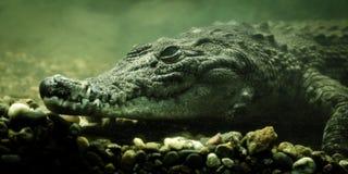 Krokodilalligator under vattenslut upp royaltyfri foto