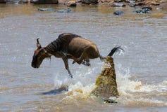 Krokodilattackgnu i den Mara floden stor flyttning kenya tanzania Masai Mara National Park Fotografering för Bildbyråer