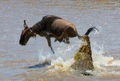 Krokodilattackgnu i den Mara floden stor flyttning kenya tanzania Masai Mara National Park Royaltyfri Bild