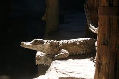Krokodilaufpassen Stockbild