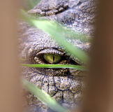 Krokodilauge Stockfoto
