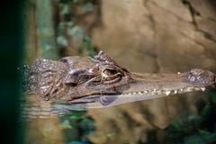 Krokodilbad royaltyfria foton