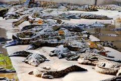 Krokodilbauernhof Stockfotos