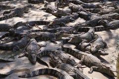 Krokodilbauernhof Lizenzfreie Stockbilder