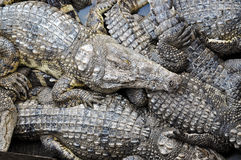 Krokodilbauernhof Lizenzfreie Stockfotos